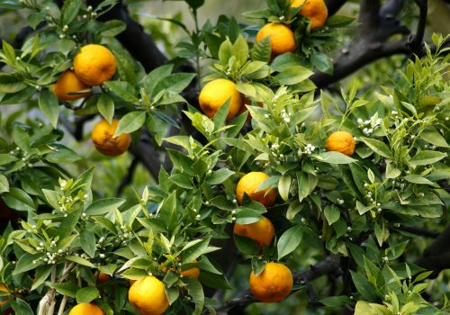 Menton citrons